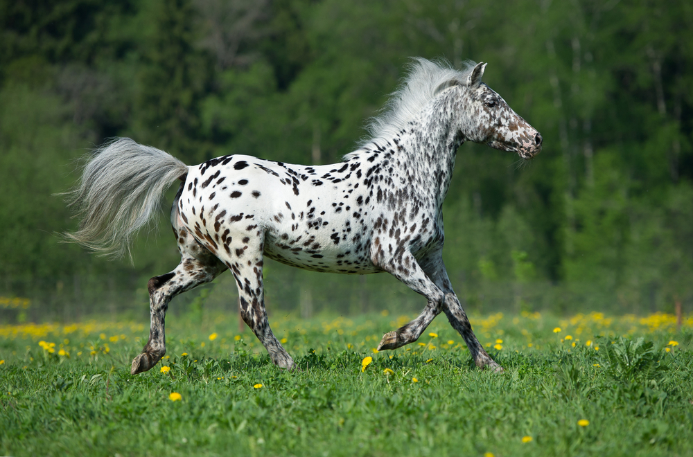 Appaloosa horse price, how much is an Appaloosa horse?