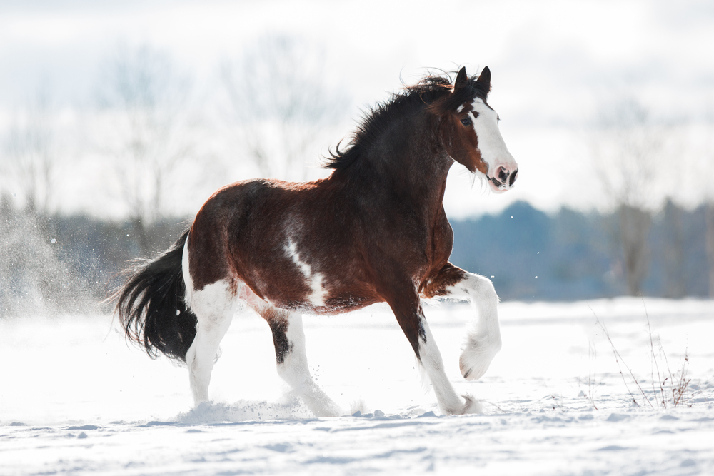 how much is a Clydesdale horse, Clydesdale horse price