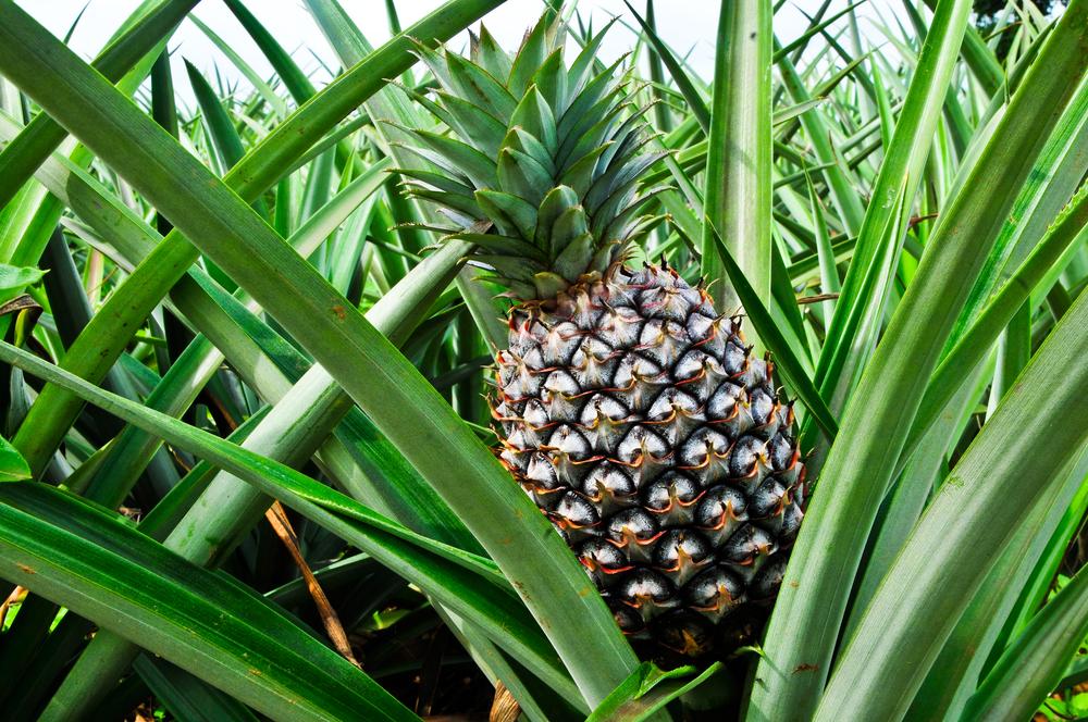 Cornwall Pineappleprice