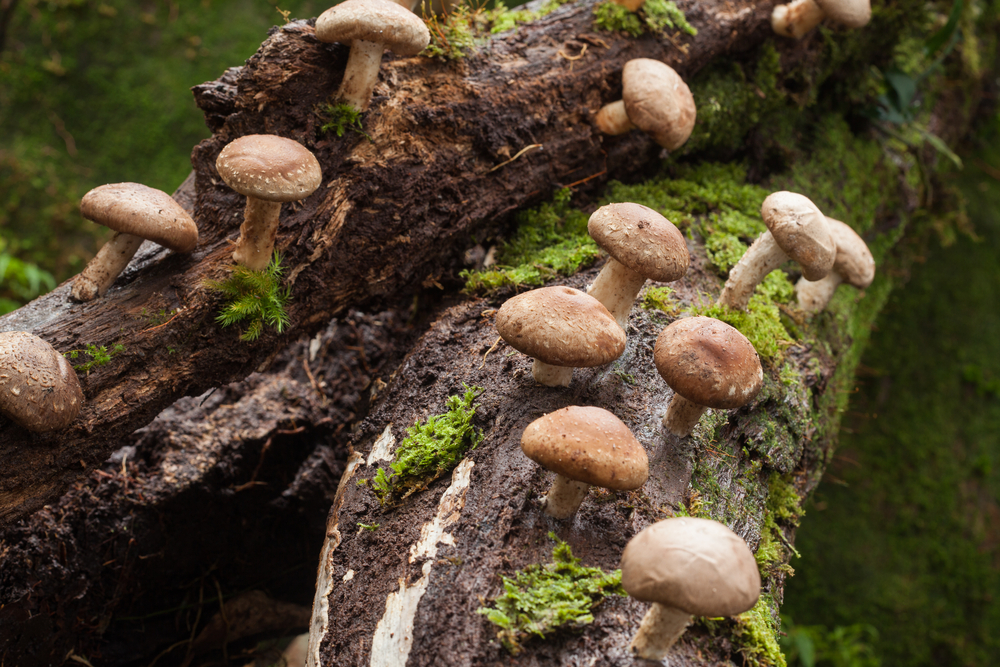 how to make money growing shiitake mushrooms